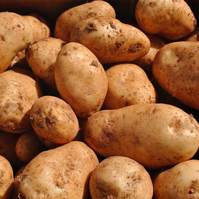 Comprar Patatas blancas Kennebec online