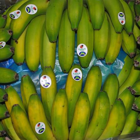 Comprar Plátano de Canarias online